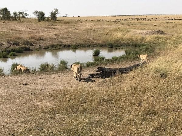 luxury African safari lions