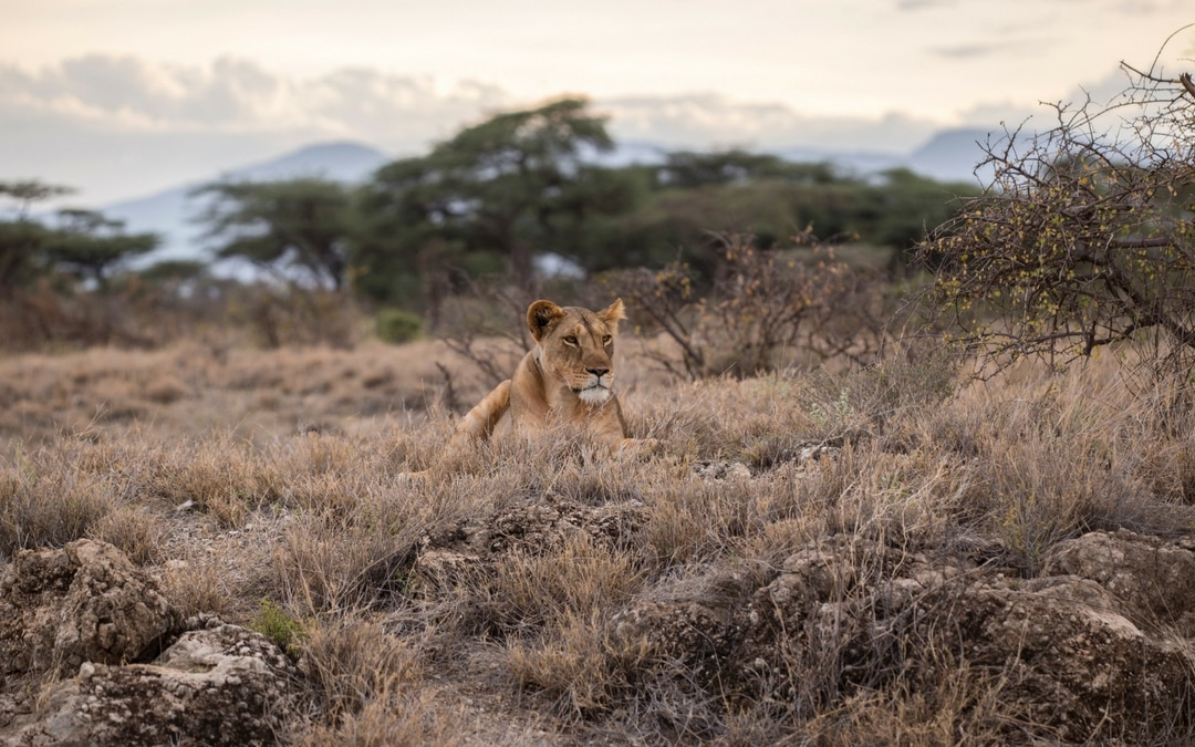 lion in Africa, luxury group vacation packages, image source by Bram Vranckx 18726