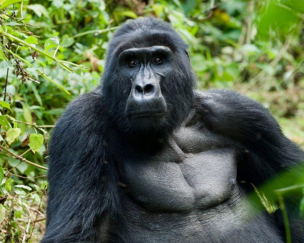 Uganda Gorilla, how to pack for an African safari trip