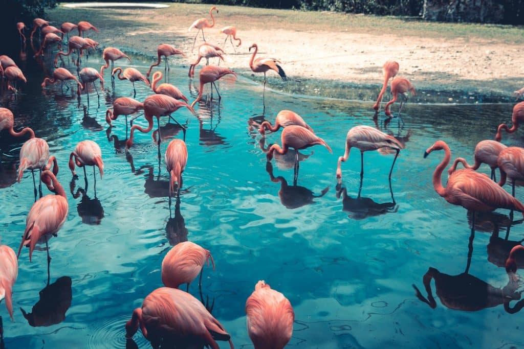 Mexico Yucatan flamingos